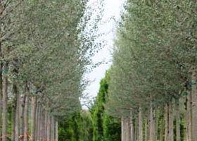 coltivazione in  Air Pot